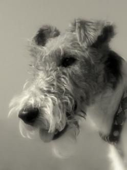 A very fine example of Wire Fox Terrier.