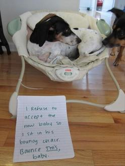 Dog Shaming - I refuse to accept the new baby so I sit in his bouncy chair. Bounce THIS baby.: New Babies, Babies, Animals, Dog Shaming, Funny, Puppy, Pet Shaming