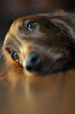 I miss my Penny so much! This looks just like her. RIP I will see you again one day. ---- Love Your Dachshund?? Visit our website now!: Brown Eyes, Sweet, Pet, Puppy Dog Eyes, Beautiful Eyes, Irish Setters, Friend, Puppy Eyes, Animal