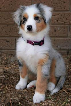 Meeko the Australian Shepherd.  She's so beautiful!  I want one just like her!  Hoping to have a daisy-dog part 2 in our lives--there's just something about labs and Australian shephards I <3: Australian Shepard, Animals, Australian Shepherds,
