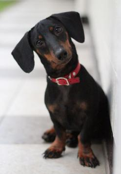 the doxie head tilt! Oh this looks like my Melanie Mu that passed so many years ago now :(: Dachshund Dogs, Daschund, Dachshund, Wiener, Dogs Doxie
