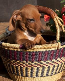 Ugh - these people put me in a basket again. Maybe if I don't look at them they'll stop putting me in containers to take my picture ...I wonder if I'm big enough to drag that camera into the street...: Darling Doxie, Doxie Basket, Dachshunds D