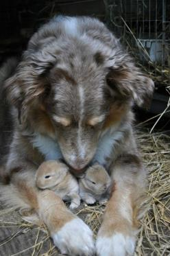 A mother dog who has adopted some bunnies. | 51 Animal Pictures You Need To See Before You Die: Cute Rabbit, Baby Bunnies, Baby Animal, Amazing Animal, Baby Rabbit, Baby Hamster
