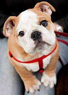 Cyoot Puppy ob teh Day: Widdle Bulldog  http://cheezburger.com/7064747520
