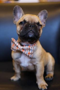 Frenchie... In a bow tie... Come on!!: Doggie, French Bulldogs, So Cute, Bow Ties, Pet, Frenchbulldog, Bowties