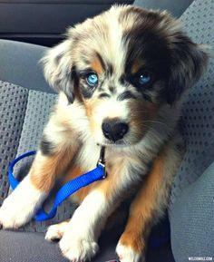 Golden Retriever Husky Mix.: Australian Shepard, Golden Retrievers, Blue Eyes, Australian Shepherd, Siberian Huskie, Adorable Animal, Golden Husky