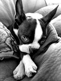i love my bostons!!!!!Boston's repertoire. And they are absolute overacheivers in all of these.: Doggie, Terrier Talents, Animals, Dogs, Pet, Boston Terriers