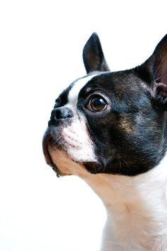 IMO, the most intelligent breed ever. I will always own a boston.