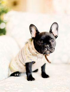 Must have this velvety French Bulldog, but blonde!! :)