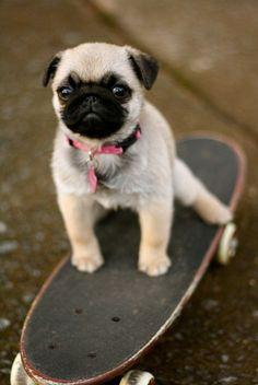 @Nicole Forman Did I say pugs are not that cute?!  I think not...