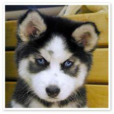 omg look at that lil face, seriously i want this dog n call him or her smudgy or 'Coon.