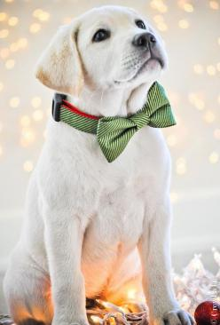 Puppies in bow ties. I have Lab love something terrible. Love this little one. Such an intense gaze.: Labrador Retriever, Bowtie, Christmas Puppy, Bow Ties, Yellow Labs, Lab Puppies, Christmas Dog