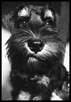 Schnauzer - love the crooked mouth.