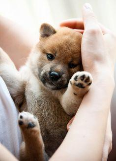 Shiba Inu puppy. This is exactly what one of my Shiba's looked like looked like when she was a puppy. The other one was lighter. Great dogs♥: Animals, Puppies, Shiba Inu, Dogs, Huck Lee, Pet, Puppys