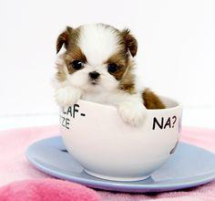 Teacup Shih Tzu Puppies | : Shih Tzu Amanda $3,500 (1).png provided by Royal Teacup Puppies ...