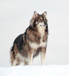 The Utonagan is a breed of dog that resembles a wolf, but in fact is a mix of three breeds of domestic dog: Alaskan Malamute, German Shepherd, and Siberian Husky.: Animals, Dogs, Siberian Husky, Malamute, Siberian Huskies, Wolves, German Shepherds, Utonag