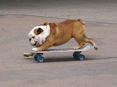 this and surfing are why English Bulldogs are the best