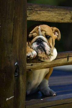 Worried and waiting! #dogs #pets #EnglishBulldogs facebook.com/sodoggonefunny