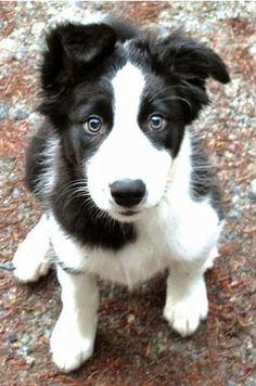 Bordie Collie / their ears are a little floppy when they are puppies but then suddenly one day they just start standing straight up all on their own.: Doggie, Border Collie Puppies, Border Collies Puppies, Collie Puppy, Border Collie Pups, Animal