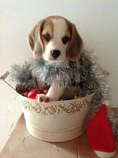 Christmas beagle: Puppy Dogs, Adorable Beagle, Beagle Baby, Doggie Stuff, Puppies Beagles, Dogs Beagles, Friend, Animal