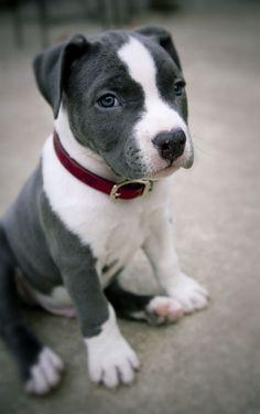 Pitbulls only come in second to the golden for the friendliest dog. Cute grey and white pitbull puppy.