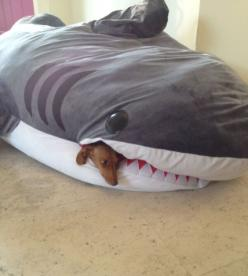 A dachshund would surely de-stuff this shark bait bed. And probably try to take on a real shark. Bold little things :)
