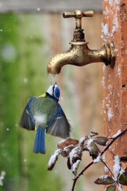 Amazing how these beautiful birds can find water if they need it, even if it is from a faucet!: Animals, Beautiful Birds, Garden, Blue Tit, Photography