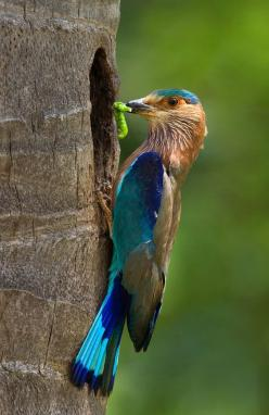 animalgazing:    Bird - Indian Roller Bird  by najeebkhan2009 on Flickr.: Rollers, Birds Birds, Birdie, Beautiful Birds, Photo, Animal