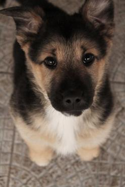As a child I always said that I would own a German Shepard one day.  Turns out I'm more of a cat person, but this face still melts my heart.: Germanshepherd, German Shepards, Animals, Dogs, Puppys, German Shepherds, German Shepherd Puppies, Eye