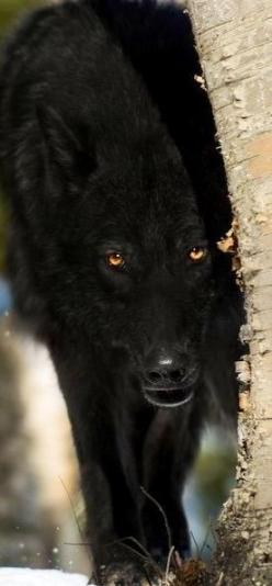 "Black Wolf ... ""AWESOME BLACK BEAUTY Loaded With CLASS and Is BAD TO THE BONE"""
