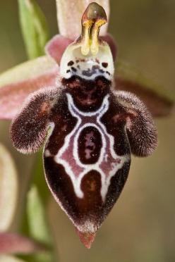 Cozen - v. To trick or deceive.    A.Word.A.Day (October 5, 2010)    *This is a bee orchid, which resembles the back of a female bee in order to lure male bees to land and unintentionally pollinate the orchid.