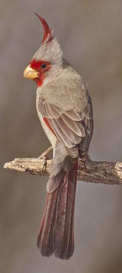cv/  Desert cardinal, Cardinalis sinuatus, is a medium-sized North American song bird found in the American southwest and northern Mexico: Birdie, Beautiful Birds, Mexican Cardinal, Cardinals, Animal