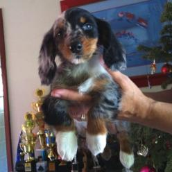 Dachshund puppy. Long haired dapple.Look at those cute white paws!