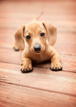 Dachsy Puppies - They are the cutest puppies ever....