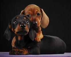 daweee little weiner dogs http://media-cache6.pinterest.com/upload/199636195952071995_CAFvp6In_f.jpg stinanicolee pictures that make me smile