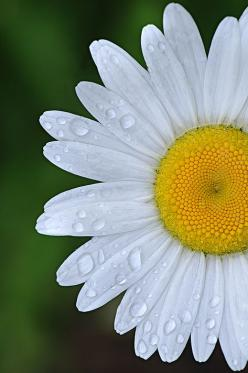 Gatsby was head over heels for a girl named daisy. She was in love with him too but they could be together.: Daisies, Beautiful Flowers, Flower Power, Happy Flower, Garden, Flower, Favorite Flower