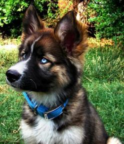 Gerberian Shepsky (German Shepherd/Siberian Husky mix). Hybrids and mixes never turn out the same, but this one sure is adorable!: German Shepherd Husky, Animals, Dogs, German Shepherds, Puppy, Husky Mix, German Shepard, Eye