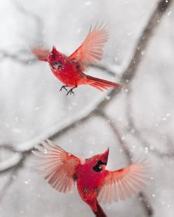 http://www.etsy.com/listing/119389034/northern-cardinal-the-art-of-staying?ref=shop_home_active_10: Animals, Winter, Beautiful Birds, Cardinals