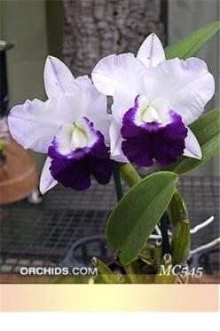 Lc. Mem. Robert Strait 'Blue Hawaii' JC/AOS (C. walkeriana x Lc. Wayndora)