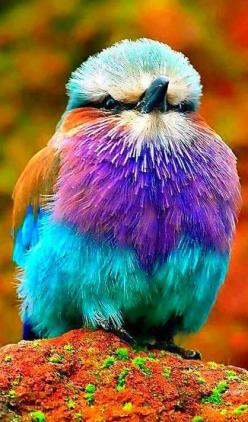 Lilac Breasted Roller. Come And Visit Us At - http://smarturl.it/yn4lx8