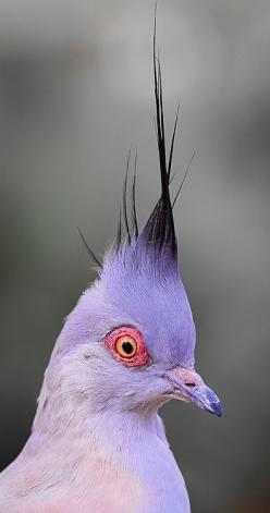 Lilac to black ombré. The splash of orange/apricot is something only nature could have come up with.: Nature, Purple Bird, Color, Beautiful Birds, Hair, Animal