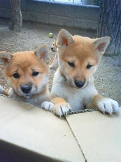 My number one obsession in life....Shiba Inu pups