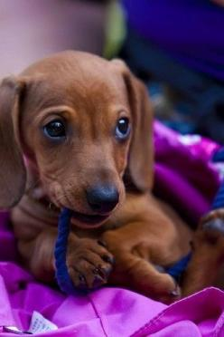 Omg, it's Baby as a puppy! Had a doxie that looked just like this!: Dogs, Adorable Doxie, Dachshund, Doxie Puppy, Puppys, Doxies, Baby, Friend, Animal