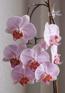 #Orchids - Phalaenopsis Orchid http://www.optimumgarden.com/category/flowers-and-plants/: Blue Orchids, Beautiful Flowers, Mystique Phalaenopsis, Blue Flower, Garden