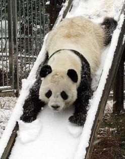 """Panda on Snowy Slide.... """"You Know You Want To"""" :-)"""