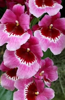 ✯ Pansy Orchid