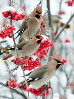 petitpoulailler:    dangel799: Arrived Waxwings by Dennis Rusinov