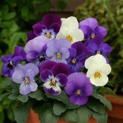 Potted Pansies.