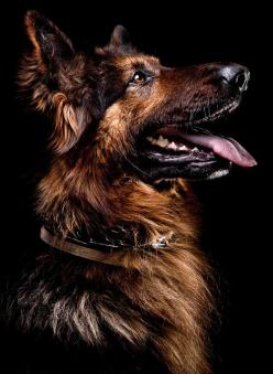 "Scoob by Oszkar Daniel Gati.  Reminds me of our German Shepard ""Sarah""  looks just like her, BEAUTIFUL!!!  We had to put her down 2 years ago because of her health.  Very hard to go through."