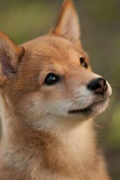 Shiba Inu.   ...........click here to find out more     http://googydog.com